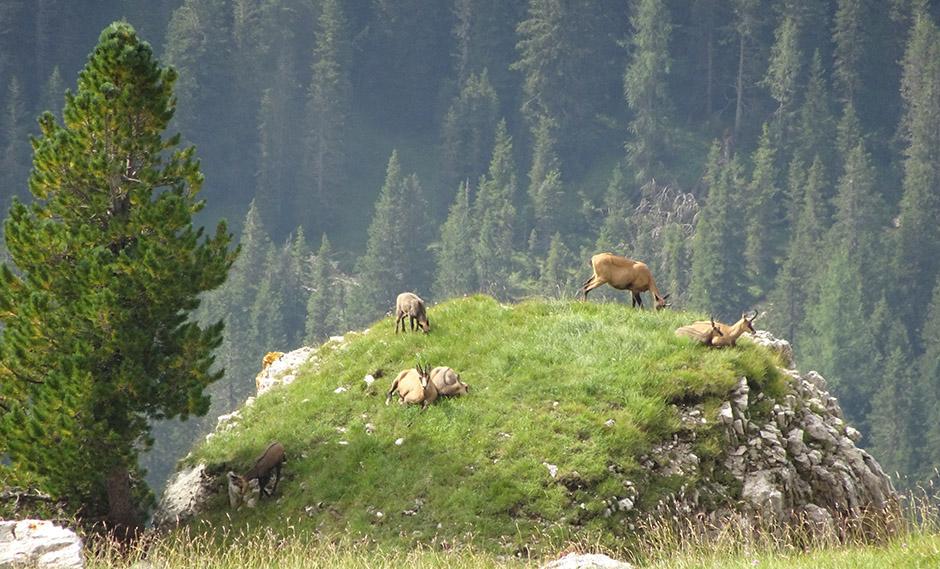 Mountain goat - Tofana di Rozes circuit
