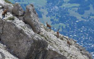 Camosci sopra Cortina