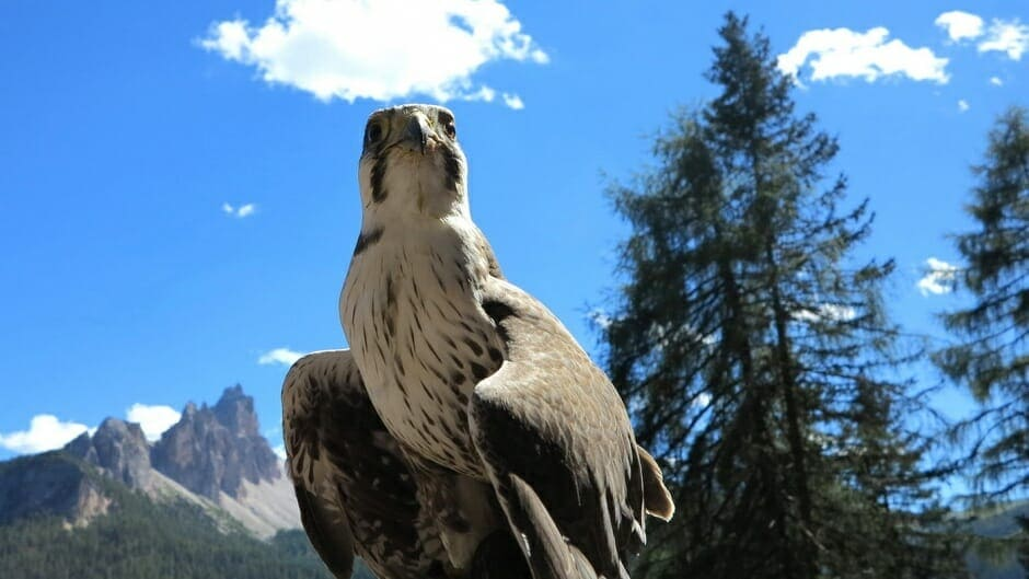 Falconeria in Dolomiti